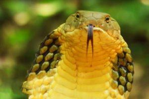 Longest Snake On Earth Eats A Deer Whole 12