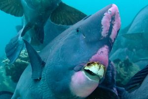 The Fish That Eat Rocks And Poop Beaches 11