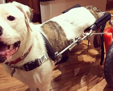 Paralyzed Pup Named Pigeon Overjoyed as He Receives New Wheelchair 1