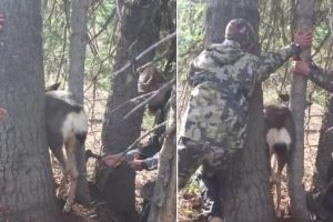 Hunters Rescue A Deer That Got Stuck Between 2 Trees 11