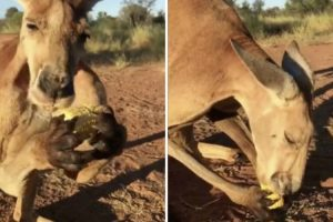 Watching A Giant Kangaroo Nibble On Corn On The Cob Will Bring You So Much Joy 10