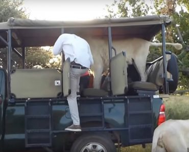Male Lion Jumps Into Open Safari Truck Full Of Students 8
