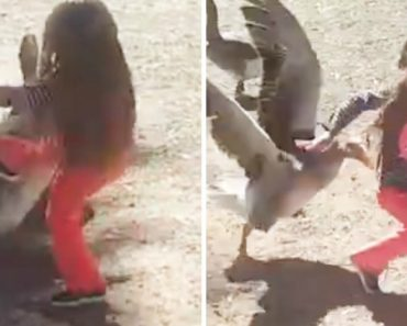 Little Girl And Her Sister Get Attacked By Geese After Kicking Them Multiple Times! 4