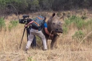 Rhino Sneaks Up To Camera Man, So She Can Get A Belly Rub 11