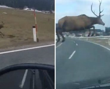 Deer Racing Beside Car Veers Towards The Road Then Majestically Leaps Over It Missing A Collision By Inches 9