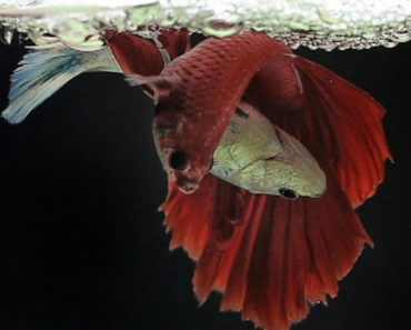 Unique And Amazing Betta Fish Life Cycle 5