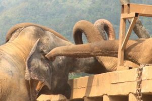 Heartwarming Moment A Blind Elephant Rescued From A Circus Is Welcomed Into A Herd 12