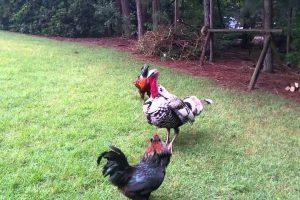 Police Turkey Breaks Up Fight Between Roosters 10