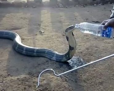 Angry King Cobra Is Given Water From A Bottle After Drought Forced It To Enter Village In Search Of A Drink 8