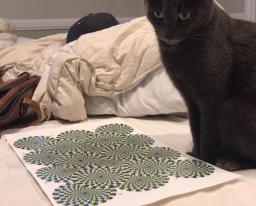 Cat Gets Dizzy Watching Optical Illusion 9