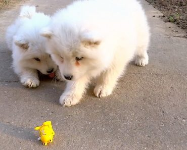 Samoyed Puppies Just Don't Know What To Do And It's Adorable 3