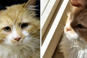 Cat Walked 12 Miles Back to His Original Family But Met with Heartbreak, Now Finds New Home! 10