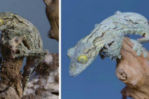 The Amazing Camouflage Of The Madagascar's Mossy Leaf-Tailed Gecko 10