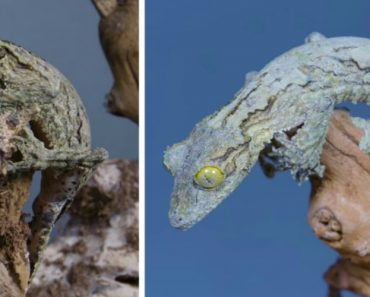 The Amazing Camouflage Of The Madagascar's Mossy Leaf-Tailed Gecko 2