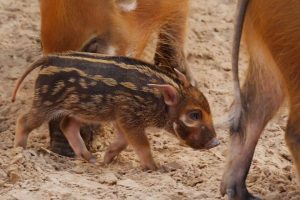 Newborn Hog With Sweet Human-Like Eyes Loves Being the Only Baby in Town 12