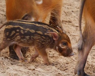 Newborn Hog With Sweet Human-Like Eyes Loves Being the Only Baby in Town 5