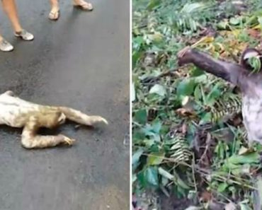 Sloth Waves Back To Rescuer Who Helped Him To Cross Road 4