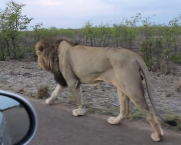 Dude Teases A Lion And Gets A Healthy Dose Of Instant Karma 2