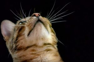 How do Cats Use Their Whiskers? 10