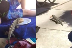 Brazen Iguana Steals Lunch From Schoolboy, As He Relaxes By The Pool With His Family 10