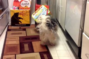 A Silly Little Dog Intentionally Gets His Adorable Little Head Repeatedly Stuck In A Beverage Box 11