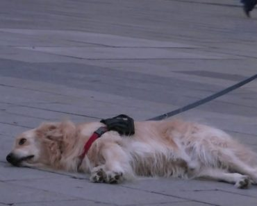 Golden Retriever Lies Down And Refuses To Move While Listening To Musician 8