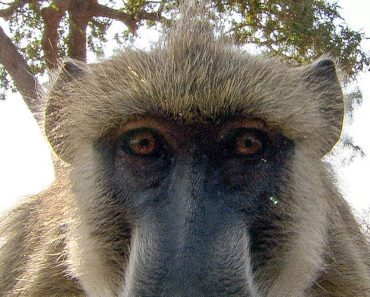 Baboons React to Seeing Their Own Reflections 5