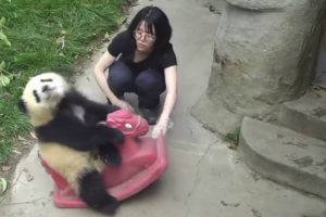 Watching This Panda Riding A Rocking Horse Will Bring Back Fond Childhood Memories 12