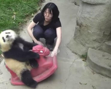 Watching This Panda Riding A Rocking Horse Will Bring Back Fond Childhood Memories 4