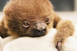 This Baby Two-Toed Sloth Called Lua is Possibly The Cutest Animal That Has Ever Existed 12
