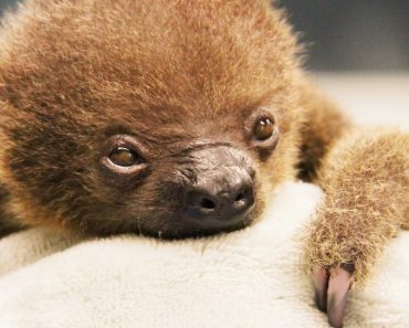 This Baby Two-Toed Sloth Called Lua is Possibly The Cutest Animal That Has Ever Existed 9