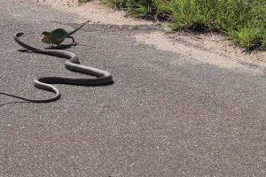 Vicious Snake Battles Chameleon 11