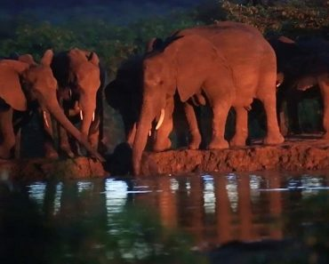 Elephant Herd Saves Baby Elephant From Drowning 2