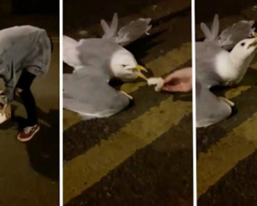 Drunk Student Bitten By Dying Seagull While Earnestly Feeding Bread 3