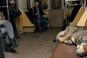 Stray Dogs In Moscow Learned To Ride The Subway! 11