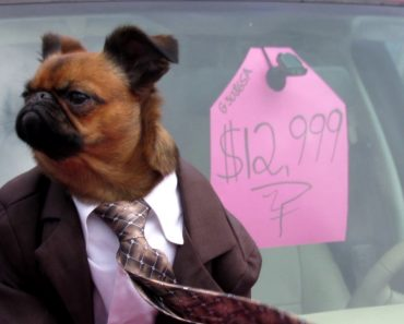 A Dapper Little Dog In a Suit Makes a Convincing Used Car Salesman in a Parody Commercial 5