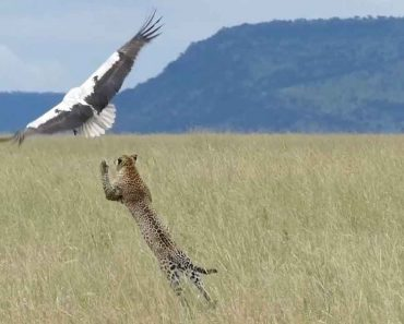 Bird Makes Miraculous Escape From Hungry Leopard 4