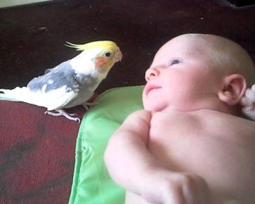 Sweet Cockatiel Sings Sweet Lullaby To 2-Week-Old Baby 8