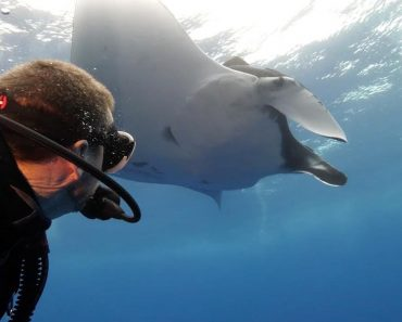Diver Swims With Mesmerising Manta Rays 3