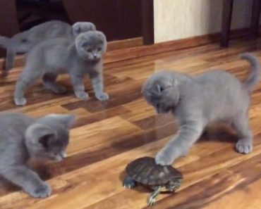Adorable Kittens Intrigued After Meeting Turtle 2