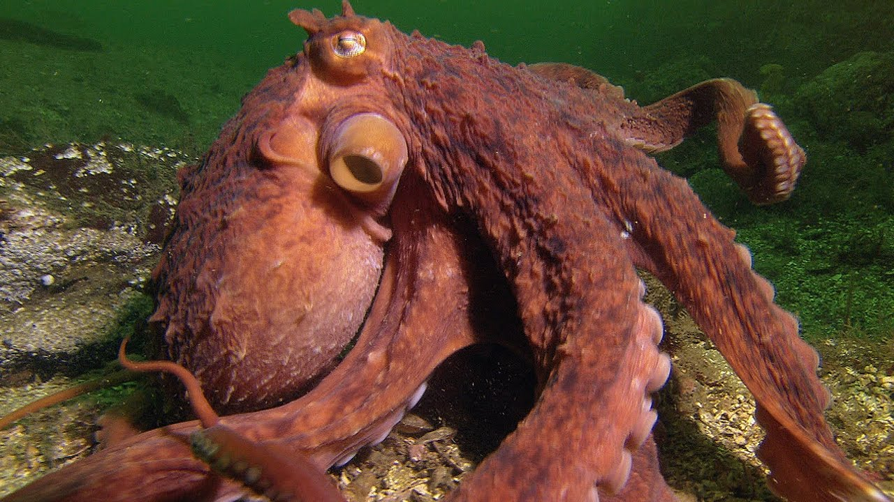 Super Smart Octopus Steals Crab From Fisherman 8