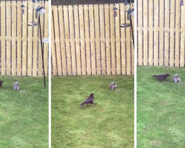 Squirrel And Crow Caught In Turf War Over Food 1