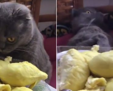 Hilarious Moment Cat Faints After Smelling The Smelliest Fruit In The World 1
