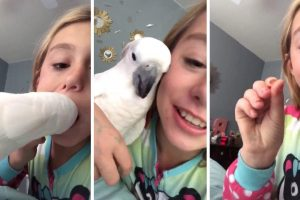 Cockatoo Pulls Out Little Girls Tooth 11