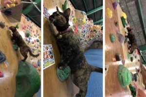 Nimble Feline Scales Rock Climbing Walls 12