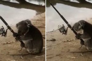 Video Shows Koala Mans A Fishing Rod On The Banks Of A River 11