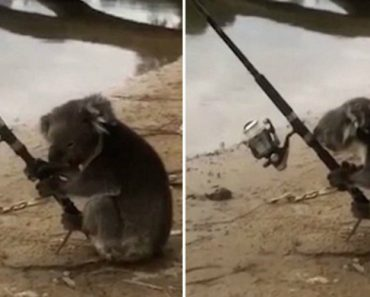 Video Shows Koala Mans A Fishing Rod On The Banks Of A River 7