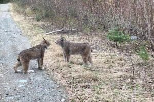 Two Lynx In Ontario Communicating With Each Other By Intense Screams Is Indescribably Weird! 12