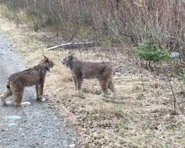 Two Lynx In Ontario Communicating With Each Other By Intense Screams Is Indescribably Weird! 1