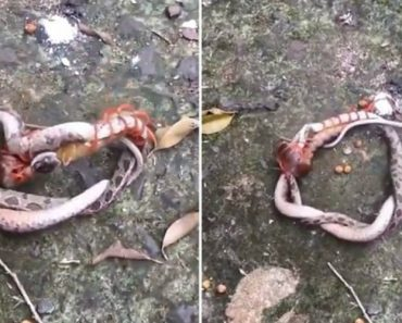 Snake Found Battling Giant Centipede In Vietnam 5